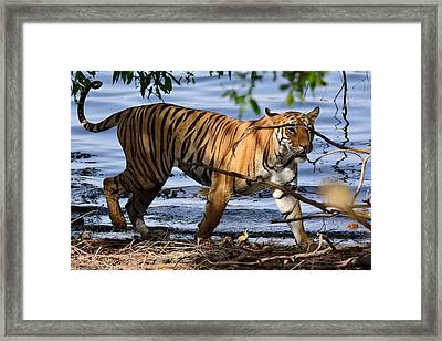 Tigress Along The Banks Framed Print