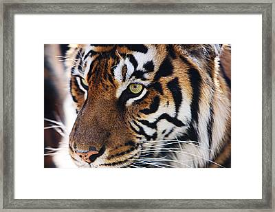 Tigress Three Framed Print