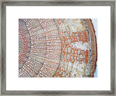 Tilia Stem 3 Years Old Framed Print by Garry DeLong