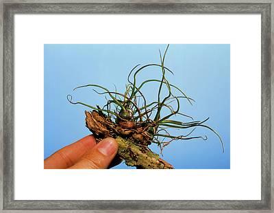 Tillandsia Bromeliad Plant On A Twig Framed Print