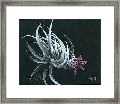 Tillandsia Piauiensis Framed Print by Penrith Goff