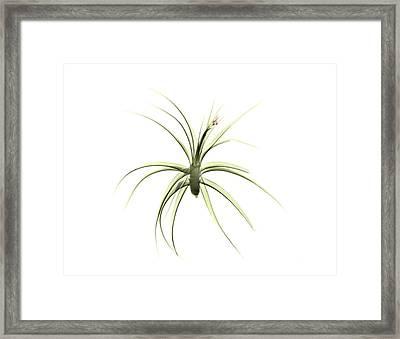 Tillandsia Plant Framed Print by Albert Koetsier X-ray
