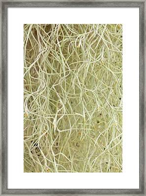 Tillandsia Usneoides Framed Print