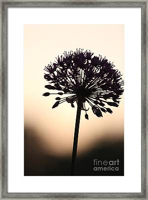 Tilted Silhouette Allium Framed Print