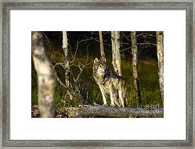 Timber Ghost Wolf Framed Print
