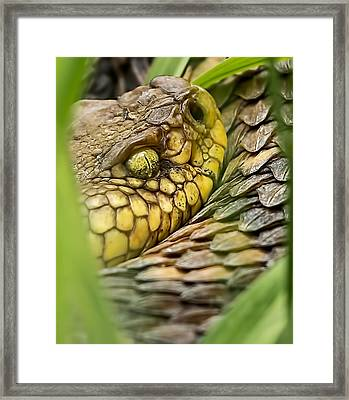 Timber Rattler In The Grass Framed Print