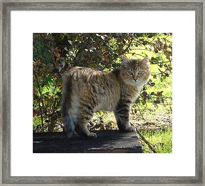 Timber The Kitten Framed Print