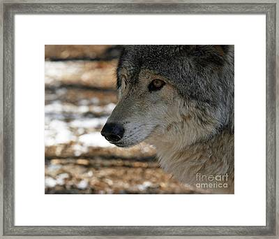 Timber Wolf Alert Framed Print by Inspired Nature Photography Fine Art Photography