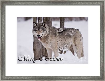 Timber Wolf Christmas Card English 3 Framed Print