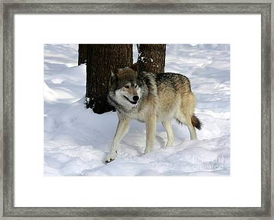 Timber Wolf In A Winter Snow Storm Framed Print by Inspired Nature Photography Fine Art Photography