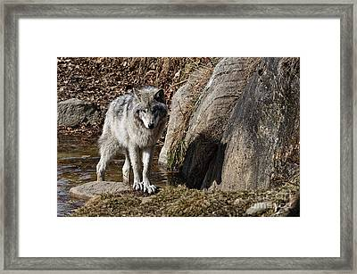 Framed Print featuring the photograph Timber Wolf In Pond by Wolves Only