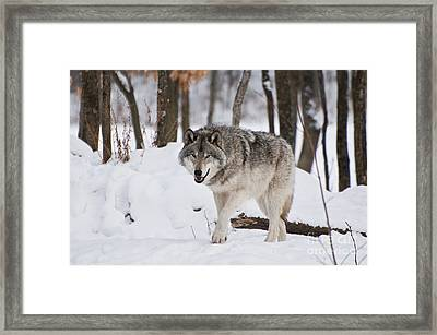 Framed Print featuring the photograph Timber Wolf In Winter Forest by Wolves Only