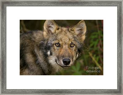 Timber Wolf In Denali Framed Print