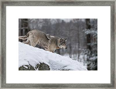 Timber Wolf On Hill Framed Print
