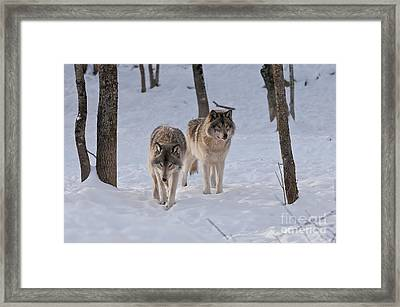 Framed Print featuring the photograph Timber Wolf Pair  by Wolves Only
