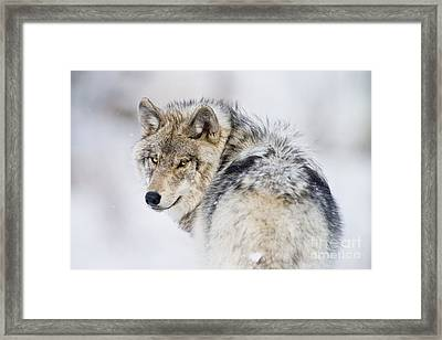 Timber Wolf Pictures 1268 Framed Print by World Wildlife Photography