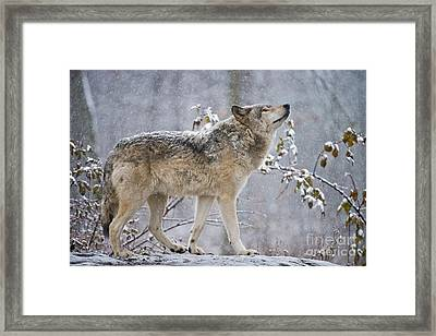 Timber Wolf Pictures 188 Framed Print