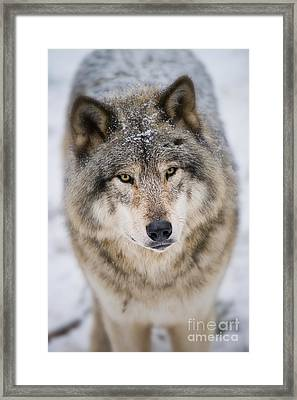 Timber Wolf Pictures 254 Framed Print