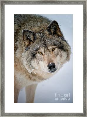 Timber Wolf Pictures 255 Framed Print