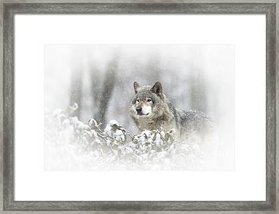 Timber Wolf Pictures 279 Framed Print