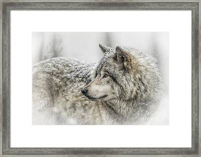 Timber Wolf Pictures 280 Framed Print