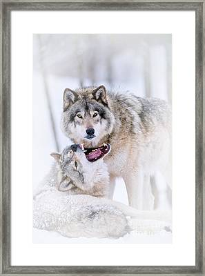 Timber Wolf Pictures 56 Framed Print