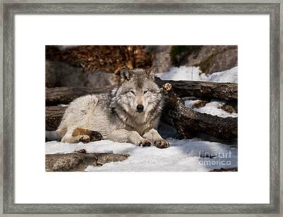 Timber Wolf Pictures 776 Framed Print by World Wildlife Photography