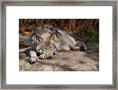 Timber Wolf Pictures 945 Framed Print by World Wildlife Photography