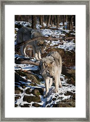 Timber Wolf Pictures 957 Framed Print by World Wildlife Photography