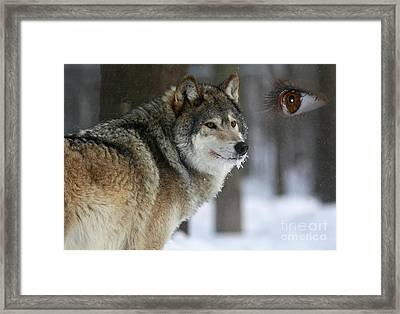 Timber Wolf Watch Framed Print by Inspired Nature Photography Fine Art Photography