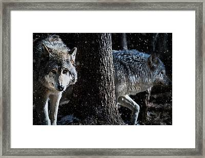 Timber Wolves In The Snow Framed Print by Tracy Munson