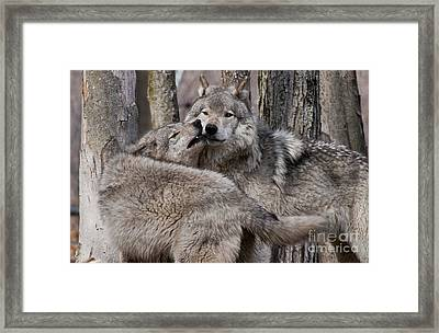 Framed Print featuring the photograph Timber Wolves Playing by Wolves Only