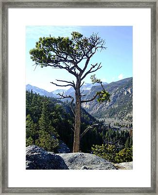 Timberline Tree Framed Print by Stephen Schaps