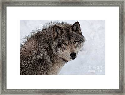 Framed Print featuring the photograph Timberwolf At Rest by Bianca Nadeau