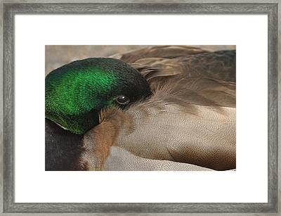 Time For A Nap Framed Print by Sabine Edrissi