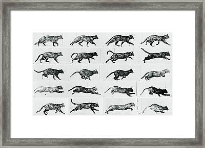Time Lapse Motion Study Cat Monochrome  Framed Print by Tony Rubino