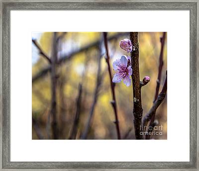 Time To Bloom Framed Print by Serene Maisey