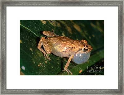 Tink Frog Framed Print