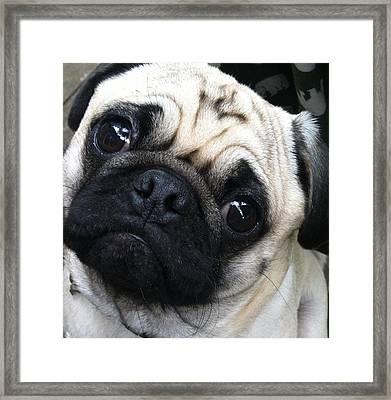 Tinkey The Pug Framed Print