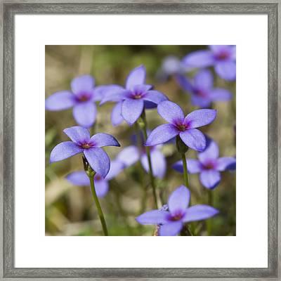 Tiny Bluet Wildflowers Framed Print