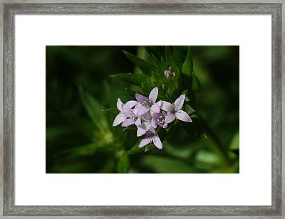Tiny Bluets Framed Print