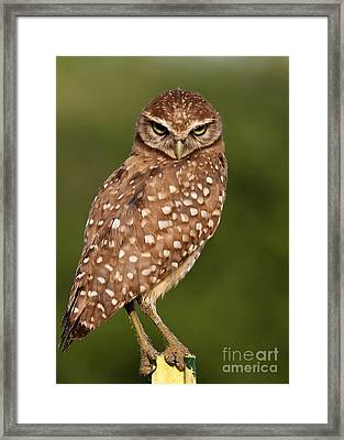 Tiny Burrowing Owl Framed Print
