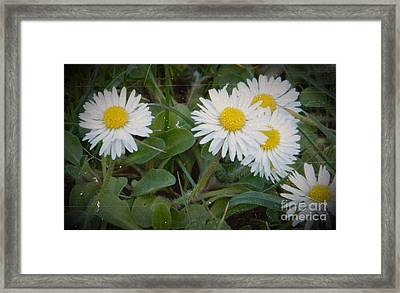 Tiny Daisies Framed Print by Chalet Roome-Rigdon