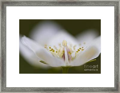 Tiny Little Arctic Wildflower Framed Print by Heiko Koehrer-Wagner