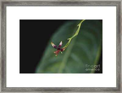 Tiny Orchid In Costa Rica Framed Print by Gregory G. Dimijian, M.D.