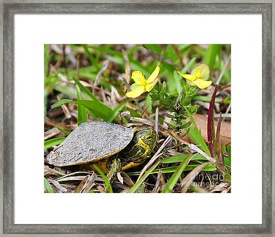 Tiny Turtle Close Up Framed Print by Al Powell Photography USA
