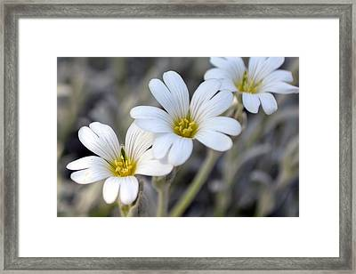 Tiny White Flowers #1 Framed Print