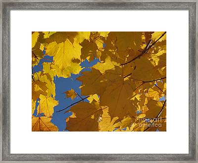 Tiny Yellow Maple Leaf In The Blue Framed Print by Anna Lisa Yoder