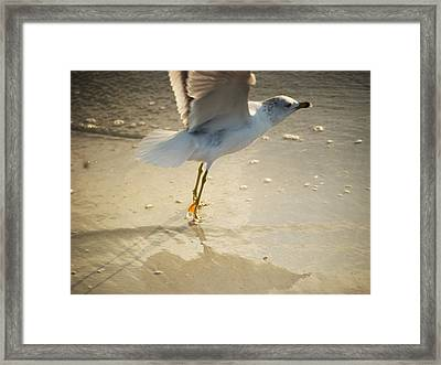 Tipy Toe Wil406 Framed Print by G L Sarti
