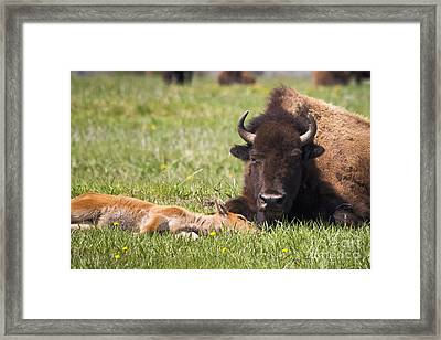 Tired Bison Cow And Calf Framed Print
